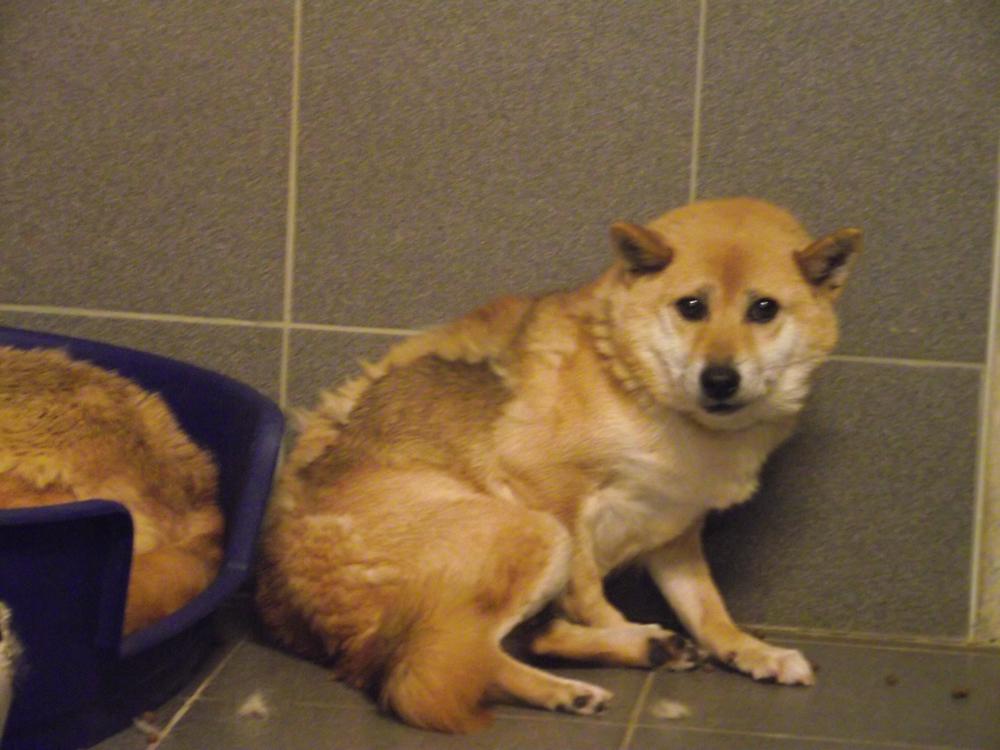 Dit is Saki. Met een ernstige afwijking in haar achterpoot en zichtbare verwaarlozing weggehaald bij een broodfokker.