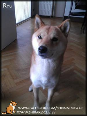 Ryu, Reu. www.shibarescue.be