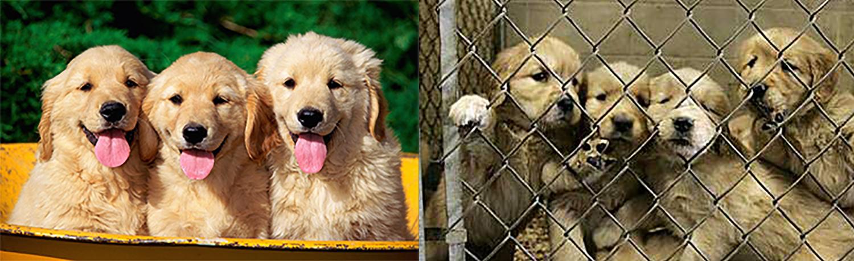 Door een prachtige foto van een nestje pups van internet af te halen, proberen de broodfokkers te verbloemen hoe hun pups er daadwerkelijk bij zitten. Foto's: Perez Hilton en Pawsandaffection.org