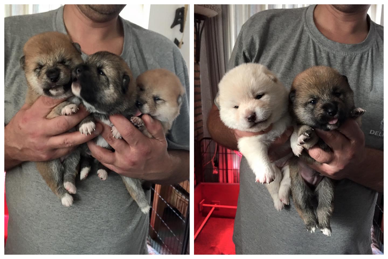 Goma Shiba Gucci schonk pasgeleden het leven aan vijf pups. Ookal is Gucci een uitgesproken Goma, toch betekent dit niet dat al haar pups ditzelfde uiterlijk meekrijgen. In dit nest vind je zoals je ziet bijna alle kleuren van de regenboog terug