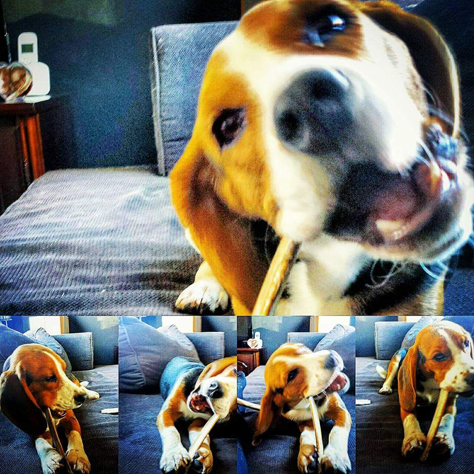 Beagle Obbe geniet zichtbaar van zijn natuurlijke tandenborstel:)