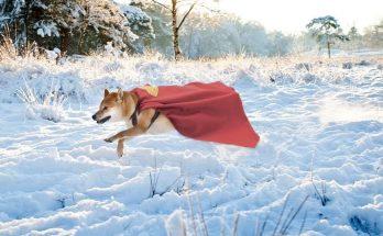 Shiba Inu Superman